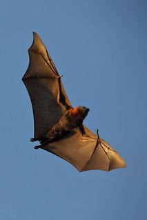 grey-headed flying fox 3