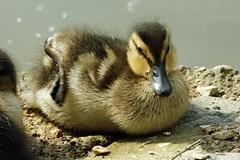 neues Leben - new life (Gil V) Tags: entenkücken duckling newlife schützen project umwelt environment neuesleben