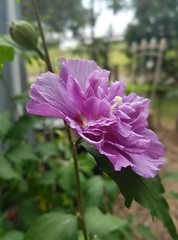 """""""Oh, Adam was a gardener, and God who made him sees That half a proper gardener's work is done upon his knees"""" (just call me Mr Lucky) Tags: amethyst purple blossom gardening"""