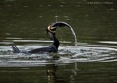 Great Cormorant trying unsuccessfully to swallow a huge fish. (MCSindagi) Tags: sonyindia sony sonyrx10iv sonycybershot sonyrx10m4 rx10 rx10iv bengaluru bangalore cormorant greatcormorant swallowing fishing karnataka snapseed