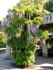 "Kew Gardens in Spring @ 19 May 2018 (SAT) - Giant Wisteria Tree (Kam Hong Leung 06) Tags: ""christinayao"" kam ""kamhongleung"" ""leungkamhong"" kew ""kewgardens"" 'unescoworldheritagesite' london richmond garden 'princessofwalesconservatory' ""waterlilyhouse"" ""glasshouse"" 'victoriagate' wisteria bee bumblebee chinese china latin columbia tree arboretum flower bird 'canadagoose' gosling baby squirrel plant flora fauna biodiversity conservation ecology environment nature wildlife girl woman boy family"
