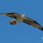 Intruding male Osprey makes a flyby thumbnail