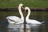 Spring love (Maria-H) Tags: muteswan cygnusolor cheshire uk olympus omdem1markii panasonic 100400 dunhammassey england unitedkingdom gb