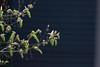 BIGLeafBuds (Annette - A Simple Breath) Tags: garden maple trees