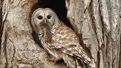 Male Barred Owl with Vole. (Metallicat923) Tags: meal silversprings kendallcounty illinois yorkville nest food feeding owl barred