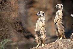 Look! (Journey CPL) Tags: meerkat stand standing curious attentive watch watching guard guarding