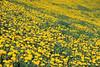 Tapis de pissenlits (Croc'odile67) Tags: nikon d3300 sigma contemporary 18200dcoshsmc paysage landscape fleurs flowers campagne prairie nature