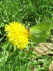 Le Citron (mâle) (Sur mon chemin, j'ai rencontré...) Tags: nature papillons butterflies lecitron pieridae printemps lépidoptères fleurs flowers pissenlit
