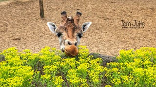 Giraffe smells the spring flowers, Burgers Zoo, Netherlands - 0993