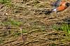 The One that Got Away (thatSandygirl) Tags: outdoor nature spring april wildlife bird robin americanrobin grass turdusmigratorius missed shot