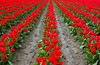 Red Rows (s.d.sea) Tags: roozengaarde tulip tulips red rows garden field agriculture spring skagit valley festival grow flower flowers floral bloom blossom pentax k5iis pnw pacificnorthwest washington washingtonstate mount vernon outdoors plants plant farm