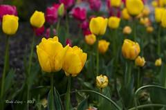 golosinas (_DSC4014) (Rodo López) Tags: tulipanes flickr flores flower floresdecastillayleon floresdeespaña floresdeleón flor elbierzo españa excapture explore nikon naturaleza nature naturalezacautivadora naturebynikon nostalgia