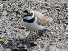 Little Ringed Plover (Diko G.W.) Tags: watton eastyorkshire tophilllownatres littleringedplover