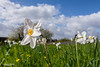 The joys of spring. (andyp178) Tags: spring daffodil nature flower grass clouds sky wideangle nikon tokina