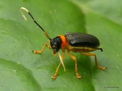 Longhorn Beetle, new species? Hemilophini, Cerambycidae (Ecuador Megadiverso) Tags: andreaskay beetle cerambycidae coleoptera ecuador focusstack longhornbeetle hemilophini spnov newspecies
