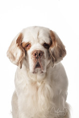 Henry on white (carla ghysels) Tags: petphotography studiophotography dog dogs highkey pet clumberspaniel