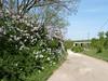 Orgonabokrokkal szegélyezett út Drégelypalánkra (ossian71) Tags: magyarország hungary börzsöny tájkép landscape természet nature virág flowers tavasz spring drégelypalánk