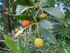 arbutus unedo? (sftrajan) Tags: jardínbotánicodelauniversidaddevalencia botanicalgarden fruit fruta valencia spain jardinbotanico botanischergarten