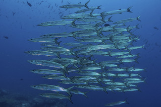 Schooling Barracudas