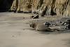 Elephant Seal on the beach (Bill Koplitz) Tags: seal elephant marine mammal california ano nuevo