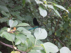 Ebony Jewelwing (D. S. Hałas) Tags: halas hałas canada ontario haltonregion haltoncounty oakville nipegontrail arthropoda insecta odonata zygoptera calopterygidae calopteryxmaculata ebonyjewelwing blackwingeddamselfly jewelwing damselfly