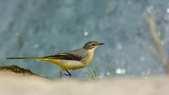 bergeronnette (frederic.laroche6) Tags: bergeronnette oiseau bird animalier greoux provence nikon d7100