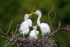 Baby Great Egrets (Ed Sivon) Tags: america canon nature wildlife wild western southwest egret texas bird baby