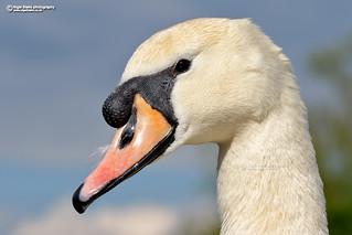 Mute Swan, Cynus olor.