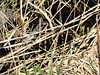 Two Grass Snakes, RSPB Otmoor, Oxfordshire, 5 May 2018 (AndrewDixon2812) Tags: rspb otmoor oxfordshire beckley noke charlton islip reserve oxford grass snake natrix helvetica snok rantakäärme couleuvre reedbed reeds