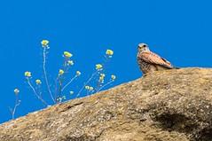 Au pays d'Aragon (PierreG_09) Tags: aragon espagne spain españa monegros faune oiseau faucon fauconcrécerelle