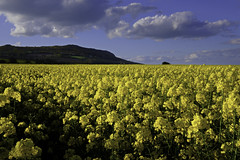 Yellow Field (OgniP) Tags: field rapeseed yellow landscape headland spring sky flowers ireland greystones countywicklow bracketing wicklow