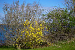 P5015949 (Paul Henegan) Tags: 32crop beltane fortpond montaukny blossoms blue clouds forsythia grass green highlights lawn leaves pink plants shadows shoreline sky spring yellow