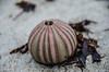 Urchin Shell - Cape Jaffa (Cisc Pics) Tags: urchinshell seaurchin capejaffa seagrass sand nature shell nikon nikkor d7000 dx 18200mm southaustralia australia