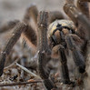 Spider (Deanne42) Tags: spider scary hairy