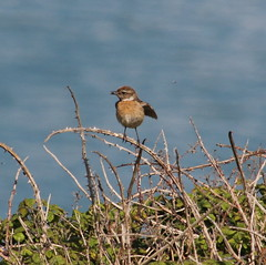Stonechat, Seaford Head (timothyhart) Tags: seaford head southcoast englishchannel sevensisters coastalwalk sunny spring 2018 england uk sea hot walking outdoors stonechat