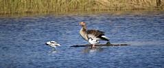 J78A0060 (M0JRA) Tags: birds flight flying wildlife rats walks gardens parks fields trees lakes ponds ducks swans rspb