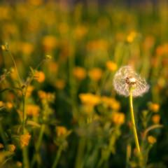 lonely dandelion (RA LO Fotografie) Tags: dandelion pusteblume bokeh