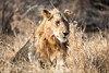 Young male lion (mayekarulhas) Tags: lion malelion southafrica safari wildlife canon cats carnivores
