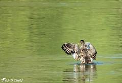 Madame Chipeau (jean-daniel david) Tags: oiseau oiseaudeau lac lacdeneuchâtel yverdonlesbains nature réservenaturelle volatile canard canardchipeau cane reflet vert