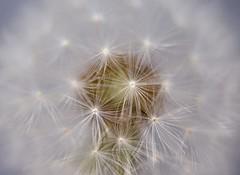 dandelion (Cor Oosterbeek) Tags: paardenbloem bloem flower dandelion bokeh