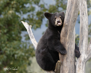 Black Bear Cub_20A7467