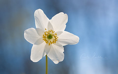 Anemone nemorosa (CecilieSonstebyPhotography) Tags: bokeh portrait flowers closeup flower hvitveis outdoor canon markiii spring macro anemonenemorosa ef100mmf28lmacroisusm blue canon5dmarkiii stems sky stem petal may petals white ngc