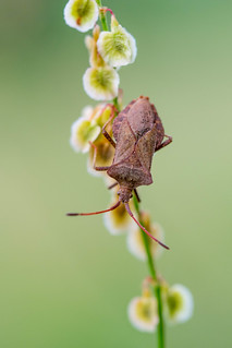 Lederwanze | Dock bug (Coreus marginatus)