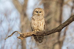 Basking Barred (DTT67) Tags: barredowl perched birdofprey owl bird maryland 2xtciii 5dmk4 canon wildlife nature