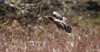 American Robin (Melissa M McCarthy) Tags: americanrobin robin bird songbird animal nature wildlife birdinflight bif flying fast action motion redbreast brown neutral scenery stjohns newfoundland canon7dmarkii canon100400isii