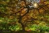 Famous Japanese Maple. (Sveta Imnadze) Tags: nature landscape tree japanesemaple portland or japanesegarden