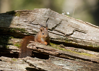 Closeup of Juvenile Red Squirrel on Fallen Tree Trunk