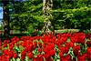 Red and Green (Hindrik S) Tags: tulip tulp bulb flower tree beech bûk buch beuk green grien grün groen vert verde read creation rea rot rood blom blommen flowers fantasticflower park garden garten jardin tún tuin keukenhof lisse zuidholland netherlands nederland holland 2018 skepping blume sonyphotographing sony sonyalpha alpha sony1650mmf28dtssm sal1650