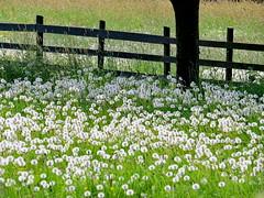 dandelionfields forever! (Mattijsje) Tags: dandelions dandelion paardenbloemen paardebloemen paardebloempluis paardebloemenpluis zaadbollen zomer fence meadow weide grass gras tree hekje hek veldjes weilandjes weilanden