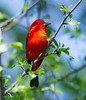 Scarlet Tanager (nature55) Tags: scarlet tanager migration bird wisconsin red beautiful songbird